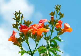 Cardinal flower on blue sky