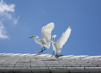 white snow egrets fight on the roof