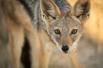 A watchful Jackal in the late afternoon in Etosha, Namibia