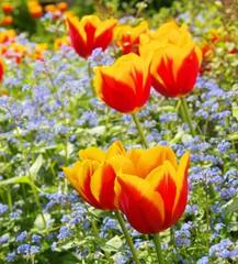 Tulpe und Vergissmeinicht  - tulip and forget-me-not 05