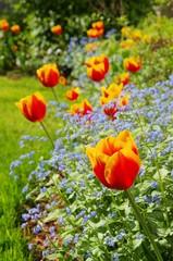 Tulpe und Vergissmeinicht  - tulip and forget-me-not 06