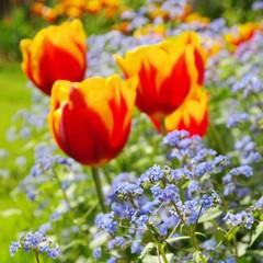 Tulpe und Vergissmeinicht  - tulip and forget-me-not 09