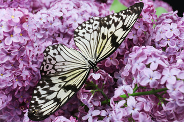 Beautiful butterfly sitting on lilac flowers
