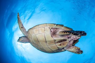 Hawksbill Turtle and Sun