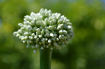Flower onions. Close-up front view
