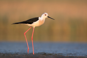 Black-winged Stilt in Morning