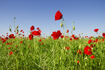 Poppies growing in a field.