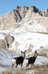 Deer in Badlands National Park in South Dakota, USA