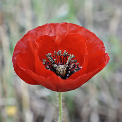 vibrant red poppy flower in the fields