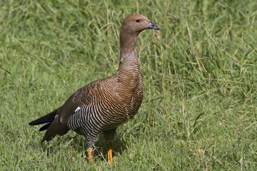 female Upland Goose or Magellan Goose sitting on a  lawn
