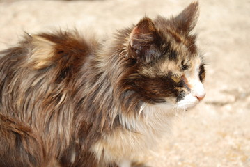 Motley longhaired cat