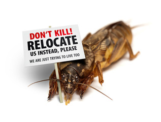 Mole cricket protesting against being killed as garden/lawn pest
