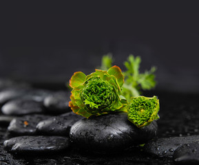 Still life with green hydrangea on stone in water drops