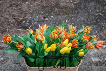 Yellow and red tulips in a basket