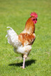 cock on green grass
