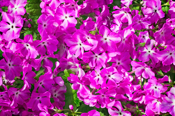 Bright pink flowers of a primrose