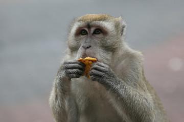 Makake beim fressen
