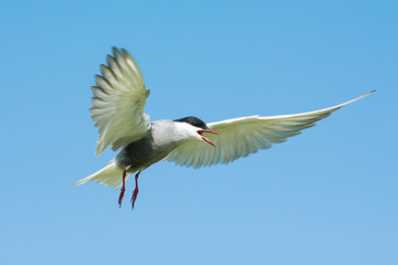 The Common Tern is a seabird of the tern family Sternidae