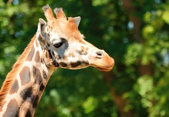 Closeup shot of the cute giraffe head.