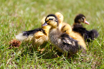 Little cute ducklings on green grass, outdoors