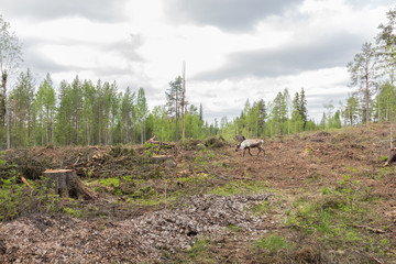 Reindeer in a deforestation area trying to avoid the photographe