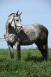 Nice grey pony with bridle standing in the grass