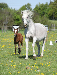 Beautiful mare running with its foal