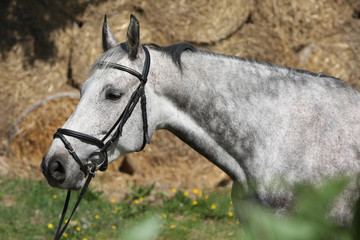 Portrait of beautiful grey horse with bridle