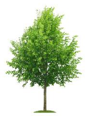 Freigestellter Lindenbaum mit Blütenknospen