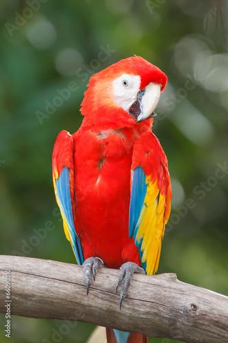 Papiers peints Perroquets Scarlet Macaw
