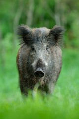 Wild boar with forest background