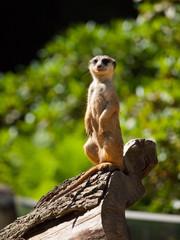Meerkat sitting and watching around