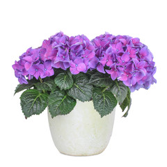 Hortensie, hydrangea, isolated