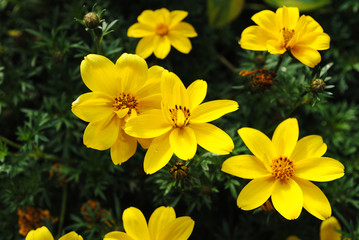 Wild Yellow Flowers Blooming in Summer