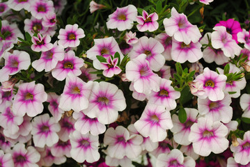 Pretty Pink and White Summer Petunias