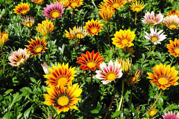 Background of Colorful Gerber Daisies in the Summer Sun