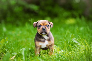 adorable staffordshire bull terrier puppy outdoors
