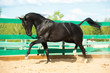 Black Russian trotter horse portrait in motion in paddock