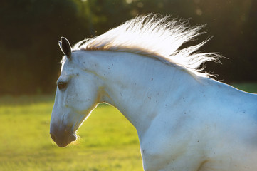 white horse portrait in the sunset light