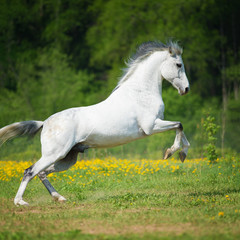 White horse playing on the meadow