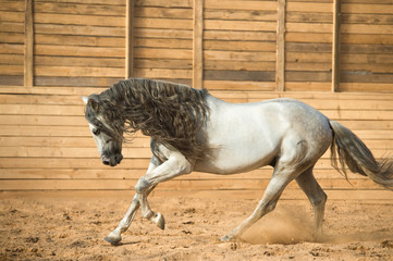 White Andalusian horse portrait in motion