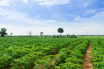Cassava farmland agriculture