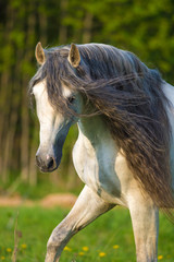 White Andalusian horse portrait in summer