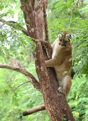 puma climbing on tree