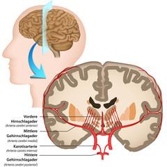 Menschliches Gehirn, Anatomie, Blutversorgung