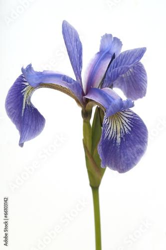 Staande foto Iris Sumpfiris, Iris, versicolor, Blaue Sumpf-Schwertlilie,