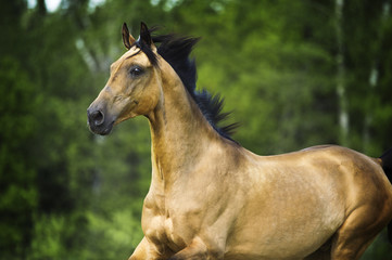 golden horse akhal-teke portrait in motion in summer