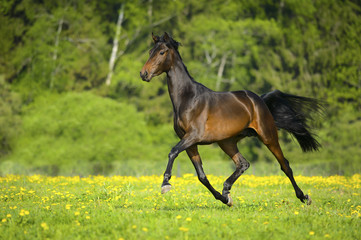Bay horse runs trot in freedom