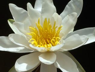 Weisse Seerose; Nymphaea alba;