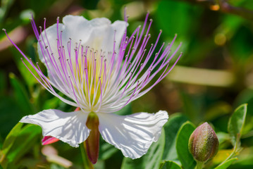 A  Capers plant with flowers taken in Spain.  Capparis spinosa